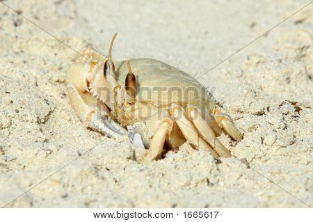 Ghost Crab (Ocypode Saratan), Qatar, Arabia