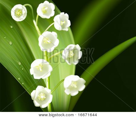 Vector lily of the valley. Photo-realistic flower.