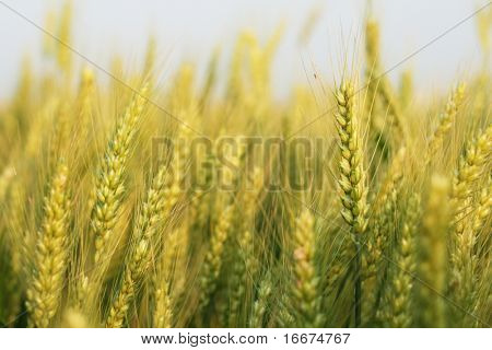 Listo para la cosecha que crecen en un campo agrícola de grano amarillo