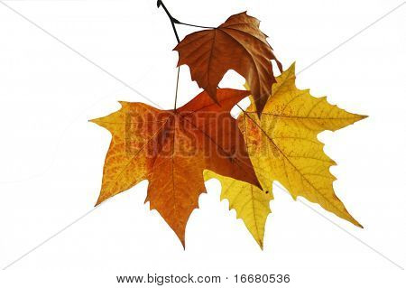 yellow phoenix  leaf with white background
