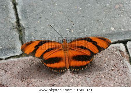 Banded Orange Longwing (Dryadula Phaetusa)