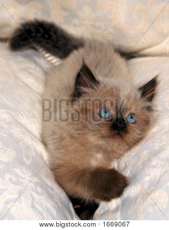 Himalayan Kitten Vi