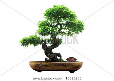 Chinese groene bonsai tree geïsoleerd op een witte achtergrond