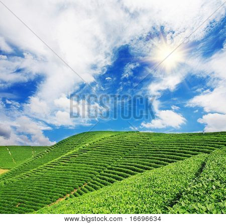 Beautiful pattern of bright, green tea garden on the hill
