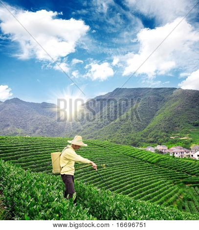 A farmer is spraying pesticides in tea garden