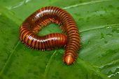 stock photo of millipede  - millipede macro on a green leaf - JPG