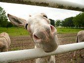 Goofy Donkey Face