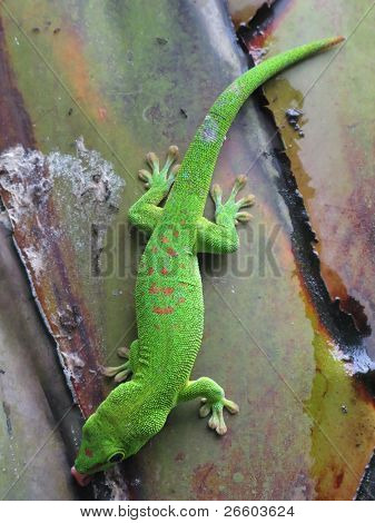 Green Madagascar day gecko on a palm tree