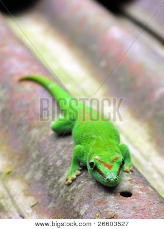 Green Madagascar day gecko