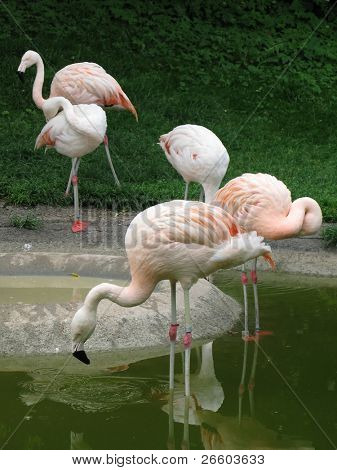Flamingos in Zurich Zoo