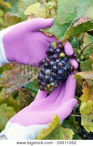 Wine-grower at work. Lavaux region, Switzerland
