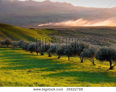 Rural landscape at sunset of a valley cultivate with trees of olives in row