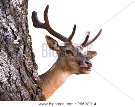 Head of young deer buck isolated on white background