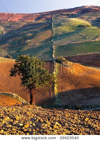 Solitary tree in a ploughed field ready to sow