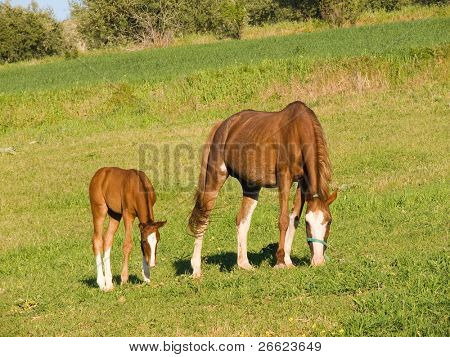 horse and colt herd crops the grass