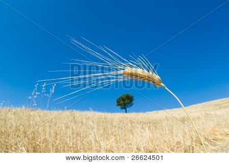ear of corn isolated on blue sky and on background blurred solitary tree