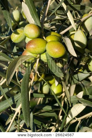 Leaves of olives and bunch of fruit that ripening on the branches
