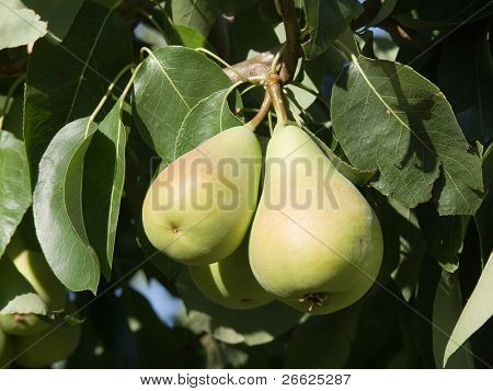 Pair of pears ripe hung from the branches