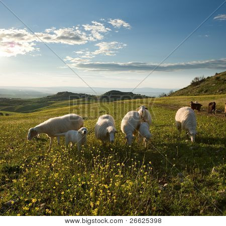 Group sheep and young dog in flowered field to sunrise