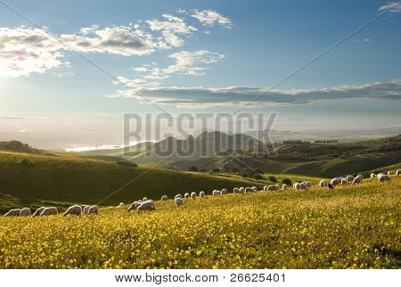 flock of sheep grazing in flowered field to sunrise
