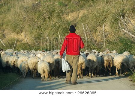 back view of a shepherd with a red sweatshirt is leading his flock on a country road