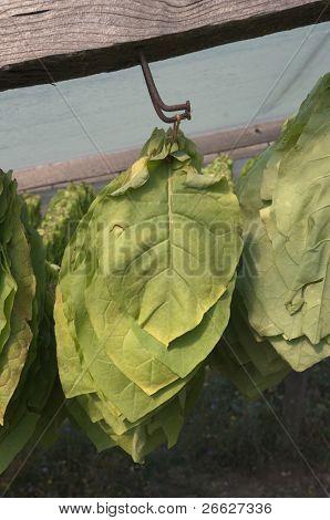 die Tabakblätter werden geerntet und sind hängende Trocknen in der Sonne unter ein plastisches Laken (vertikal