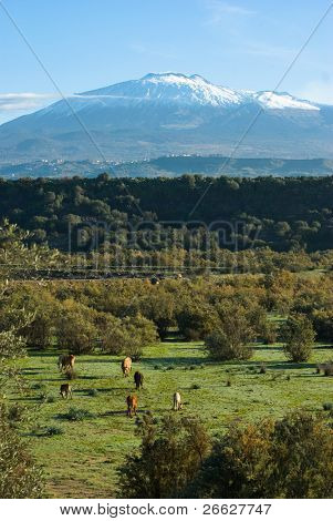 bucolic landscape of a valley with grazing cows and on the background the impressive volcano Etna