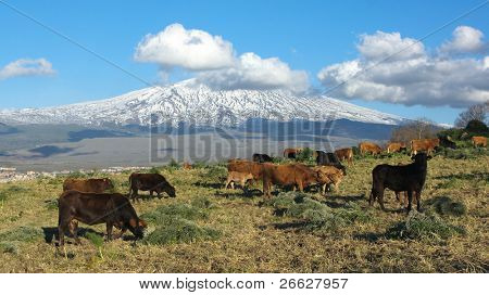bucolic landscape with herd of cattle and snowy volcano Etna