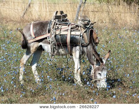a donkey with an old saddle is cropping the grass in a field of blue flowers