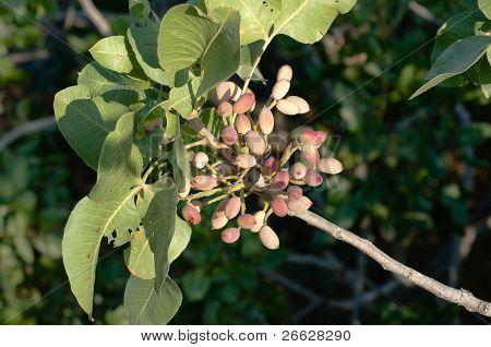sicilian pistachio on the tree