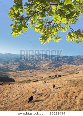 idyllic landscape with cattle grazing under oak frond in the blue sky