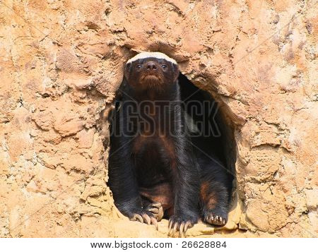 wolverine sitting in a hole