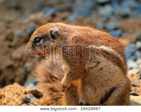 Ground squirrel(Xerus inaurus) looking for food