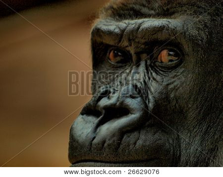 Face of gorilla
