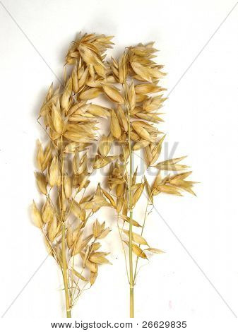 Oat ears isolated on a white background