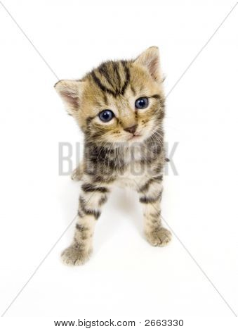 Curious Kitten On White Background
