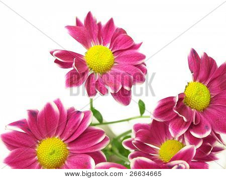 Purple chrysanthemum bouquet isolated on white background