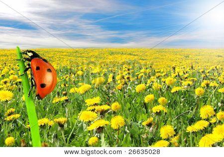 schöne Löwenzahn Wiese mit blauen Himmel und Lady bug