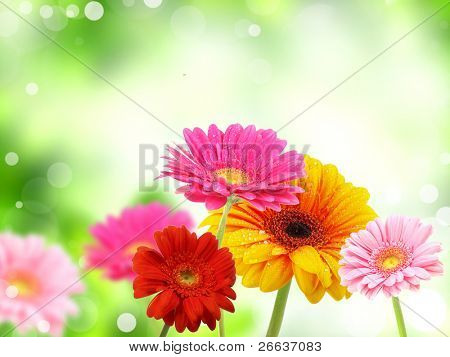 colored gerberas flowers