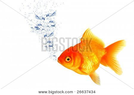 Golden fish breathing under water