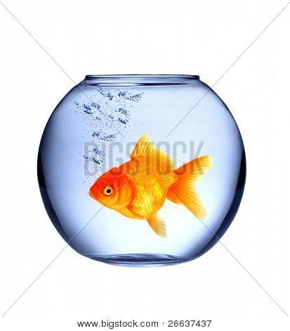 GOlden fish in aquarium