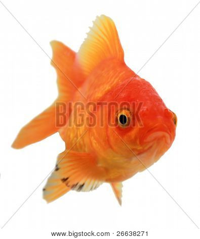 Golden fish Carassius auratus isolated on white background
