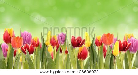Spring tulipa background