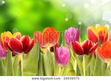 Fresh spring tulips with green blur background