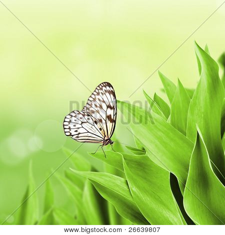 Idea leuconoe on green flower leaves