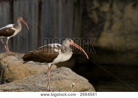 Juvenile American White Ibis
