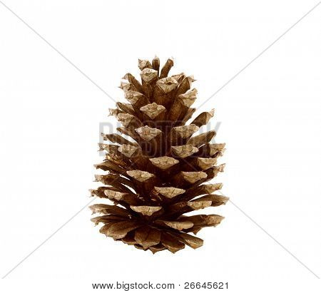 Pine cone, isolated on white