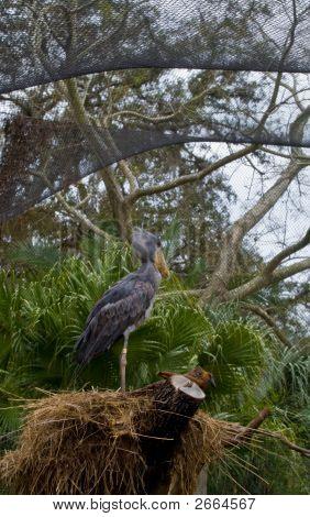Schuhschnabel Storch auf Nest