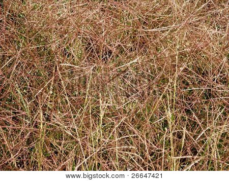 Dry pine needles