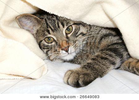 Gato bajo una manta